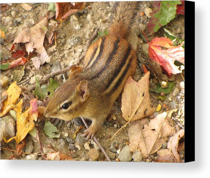 Chipmunk Canvas Print featuring the photograph Out And About by John Will