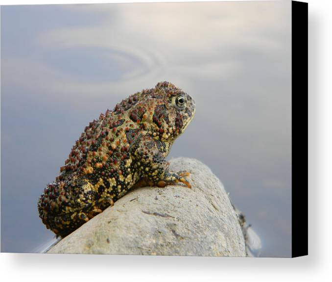 Toad Canvas Print featuring the photograph Pondering Toad by Brandy Fenenga