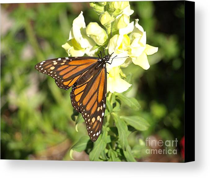Butterfly Canvas Print featuring the photograph Monarch Butterfly Feeding On A Cluster Of Yellow Flowers by Jessica Foster