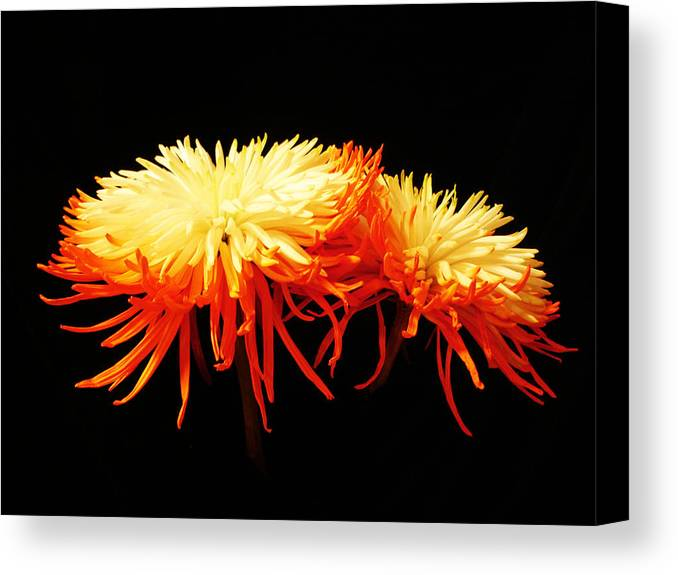 Macro Canvas Print featuring the photograph Spider Mums by Yvonne Scott