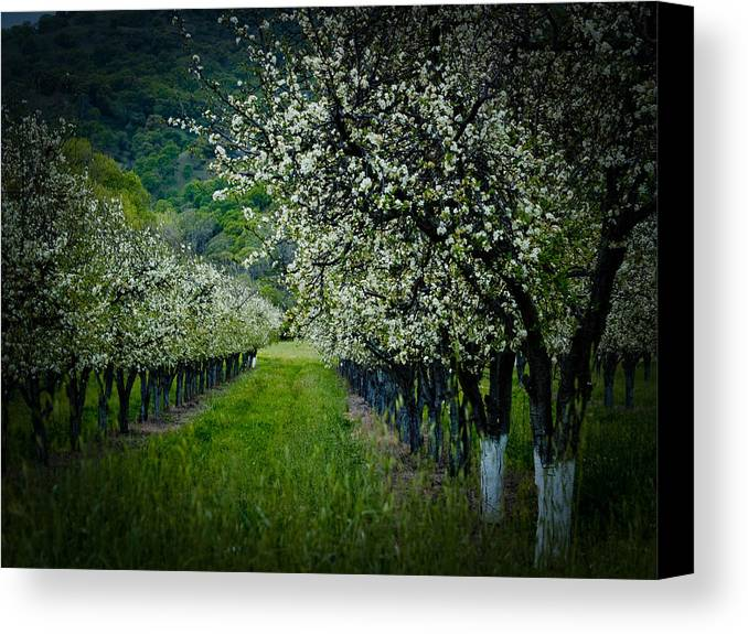 Spring Canvas Print featuring the photograph Springtime In The Orchard II by Bill Gallagher