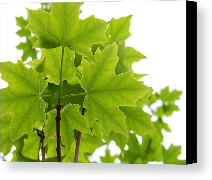 Nature Canvas Print featuring the photograph Sugar Maple Leaves by Corinne Elizabeth Cowherd