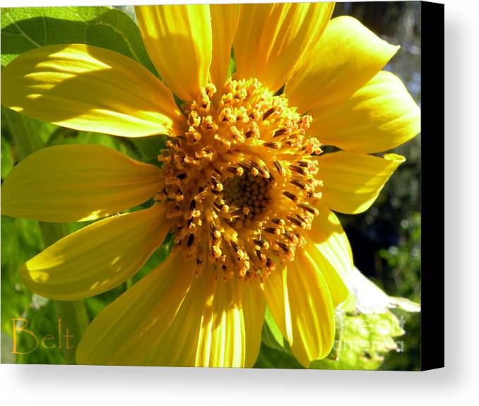 Sunflower Canvas Print featuring the photograph Sunflower No.11 by Christine Belt