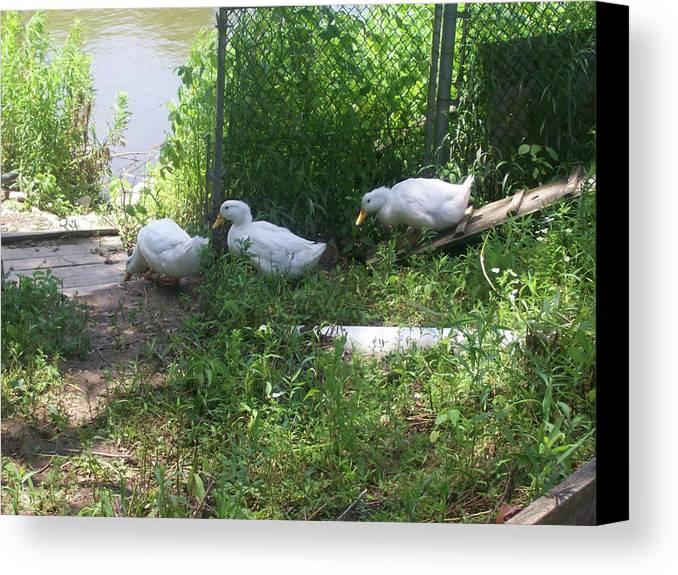 Bird Canvas Print featuring the photograph White Ducks On A Ramp by Corinne Elizabeth Cowherd