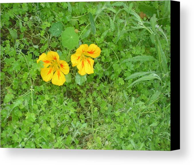 Yellow Flowers Canvas Print featuring the photograph Yellow Couplet by Jayne Kerr