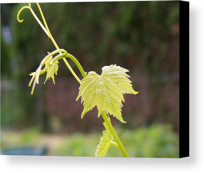 Grape Canvas Print featuring the photograph Grapevine by Heather L Wright