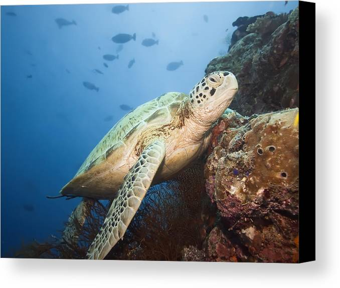 Turtle Canvas Print featuring the photograph Green Turtle Underwater by MotHaiBaPhoto Prints