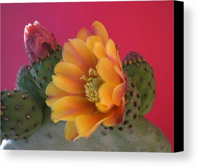 Cactus Canvas Print featuring the photograph Orange Cactus Blossom by Aleksandra Buha