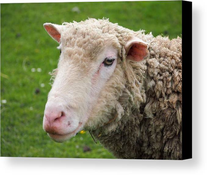 Canvas Print featuring the photograph Sheep by FL collection