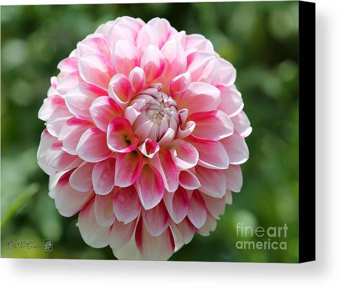 Mccombie Canvas Print featuring the photograph Dahlia Named Hawaii by J McCombie