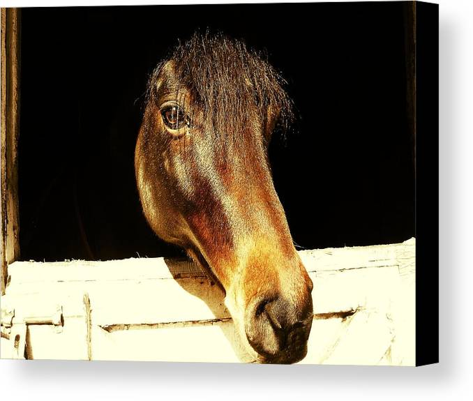 Equine Canvas Print featuring the photograph Noble Stallion by JAMART Photography