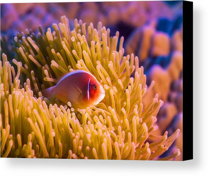 Fish Canvas Print featuring the photograph Tropical Fish Pink Clownfish by MotHaiBaPhoto Prints