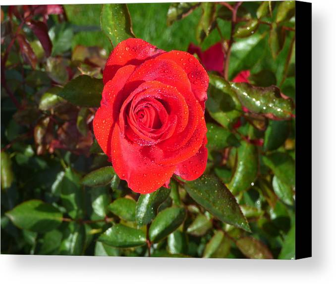 Flower Garden Idaho Photography Canvas Print featuring the photograph La Vie En Rose by Paul Stanner