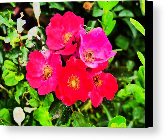 Flowers Gardens Idaho Photography Canvas Print featuring the photograph Velvet Nights by Paul Stanner