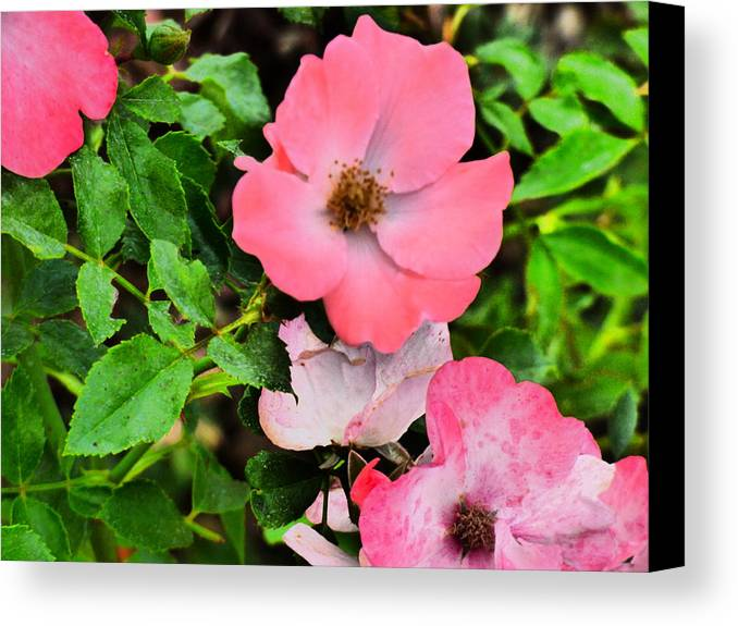 Flowers Gardens Iadho Photograaphy Canvas Print featuring the photograph Velvet Nights by Paul Stanner