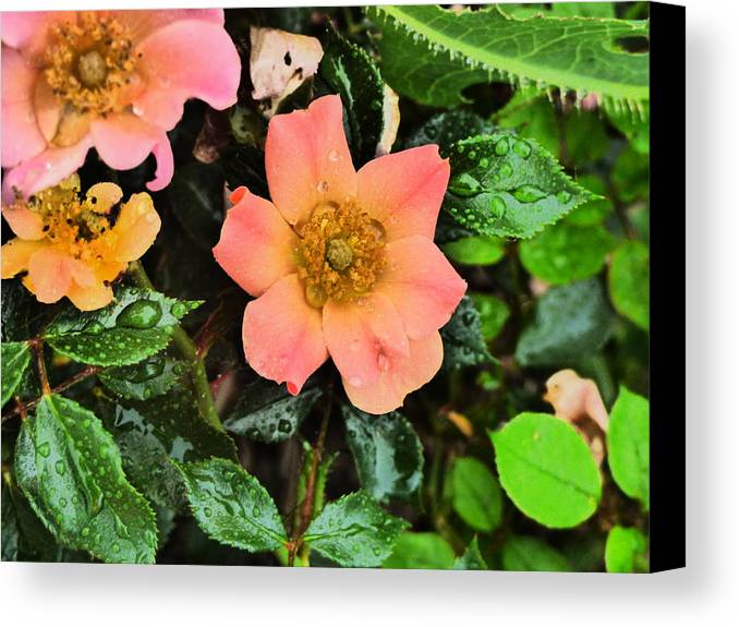 Flower Garden Idaho Photography Canvas Print featuring the photograph The Look Of Love by Paul Stanner