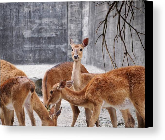 Bambi Canvas Print featuring the photograph Deer by FL collection