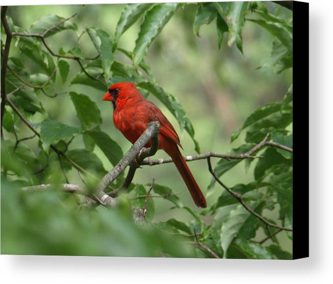 Red Canvas Print featuring the photograph A Cardinal Day by Kim