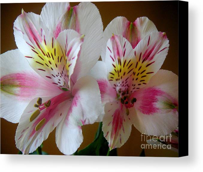 Nature Canvas Print featuring the photograph Alstroemerias - Heralding by Lucyna A M Green