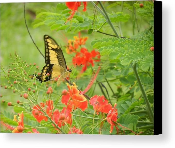 Butterfly Canvas Print featuring the photograph Amazonia Butterfly by Rhonda Allbrandt