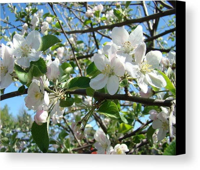 �blossoms Artwork� Canvas Print featuring the photograph Apple Blossoms Art Prints 60 Spring Apple Tree Blossoms Blue Sky Landscape by Baslee Troutman