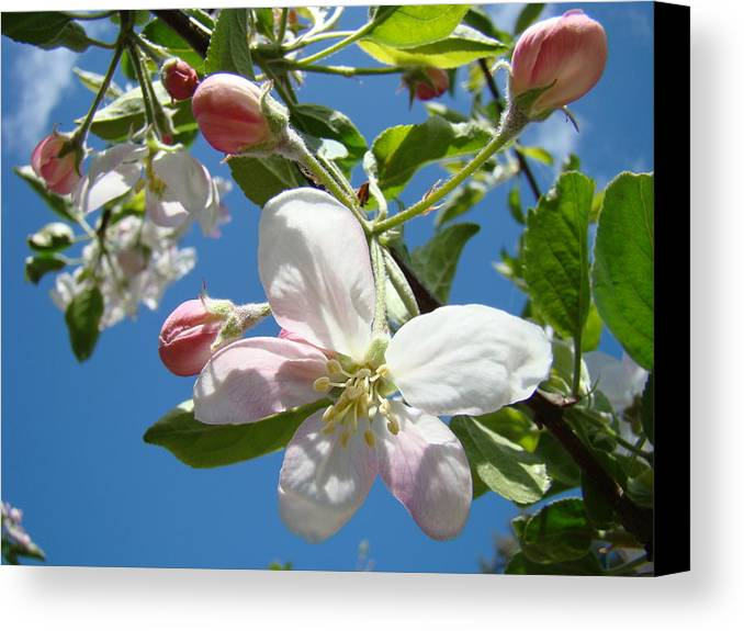 Apple Canvas Print featuring the photograph Apple Blossoms Art Prints Blue Sky Spring Baslee Troutman by Baslee Troutman