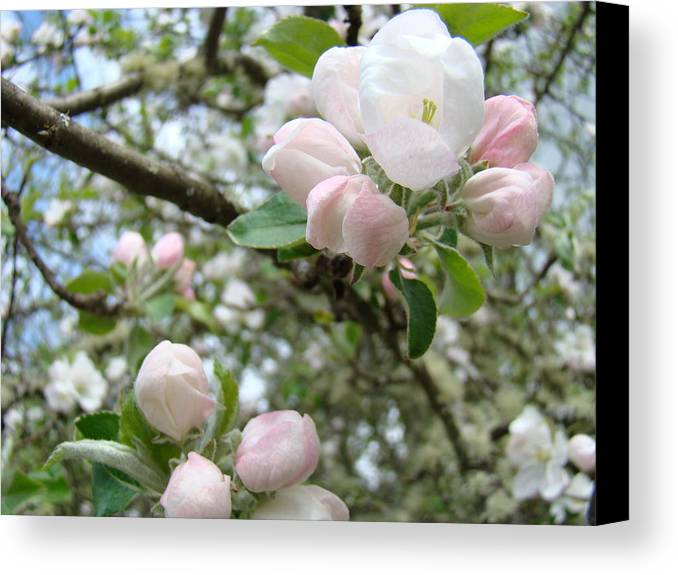 Apple Canvas Print featuring the photograph Apple Tree Blossoms Art Prints Apple Blossom Buds Baslee Troutman by Baslee Troutman
