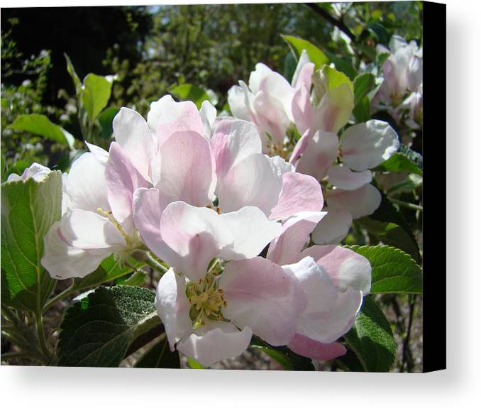 Apple Canvas Print featuring the photograph Apple Tree Blossoms Art Prints Baslee Troutman by Baslee Troutman