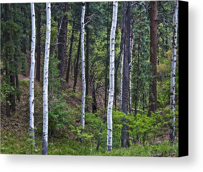 Aspens Canvas Print featuring the photograph Aspens In The Woods by Neil Doren