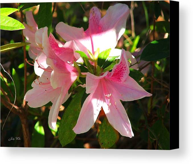 Pink Canvas Print featuring the photograph Azalea's In Bloom by Judy Waller