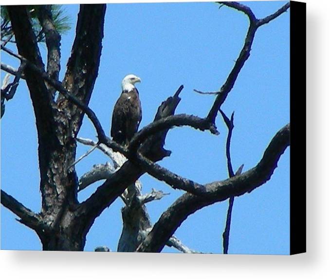 Bald Eagle Canvas Print featuring the photograph Bald Eagle by Peter McIntosh