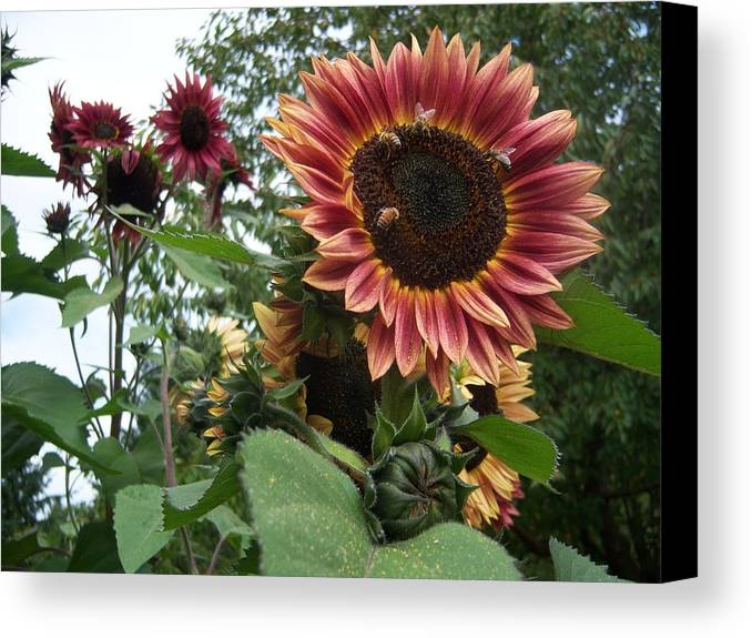 Bees Canvas Print featuring the photograph Bees On Sunflower 101 by Ken Day