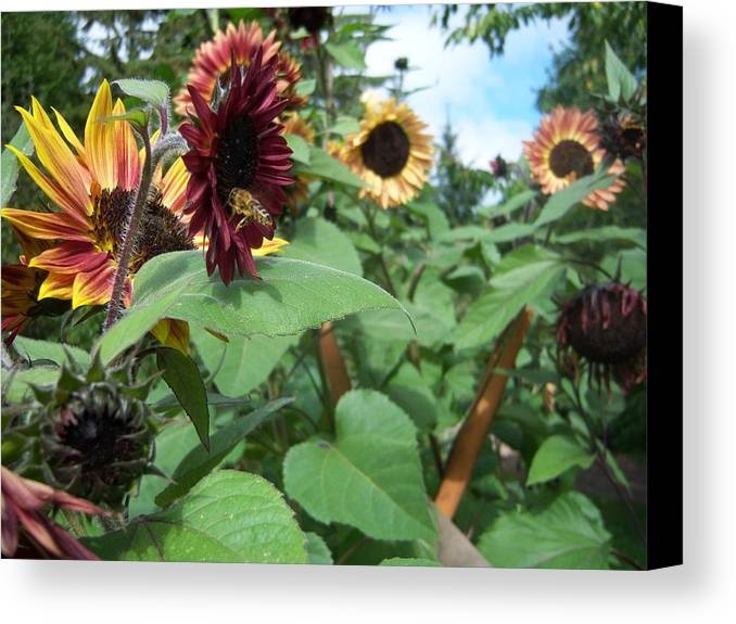 Bees Canvas Print featuring the photograph Bees On Sunflower 116 by Ken Day