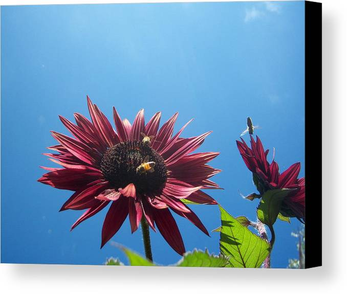 Bees Canvas Print featuring the photograph Bees On Sunflower 128 by Ken Day