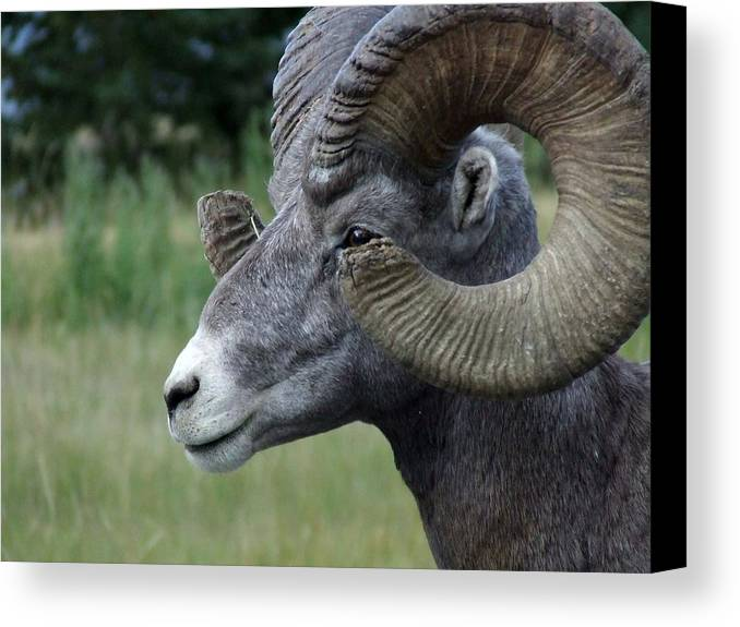 Big Horned Ram Canvas Print featuring the photograph Bighorned Ram by Tiffany Vest