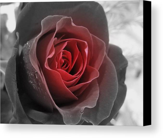 Floral Canvas Print featuring the photograph Black And Red Rose by Kathy Roncarati
