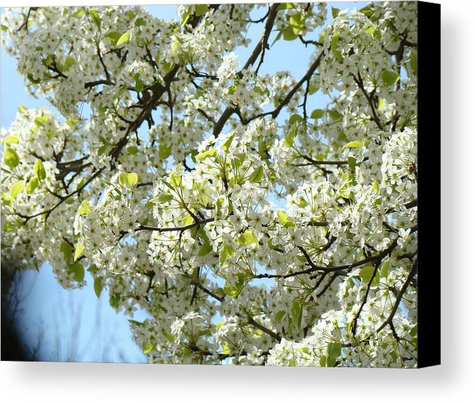 �blossoms Artwork� Canvas Print featuring the photograph Blossoms Whtie Tree Blossoms 29 Nature Art Prints Spring Art by Baslee Troutman