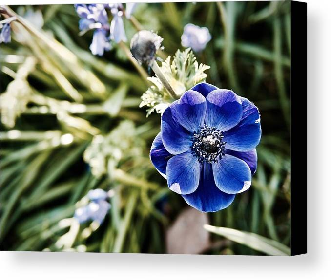 Anemone Canvas Print featuring the photograph Blue Anemone by Rachel Morrison