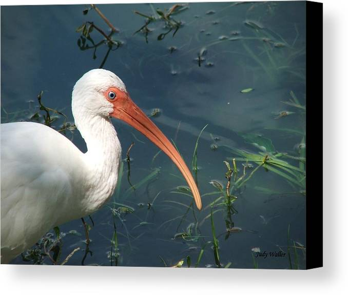 Ibis Canvas Print featuring the photograph Blue Eyes by Judy Waller