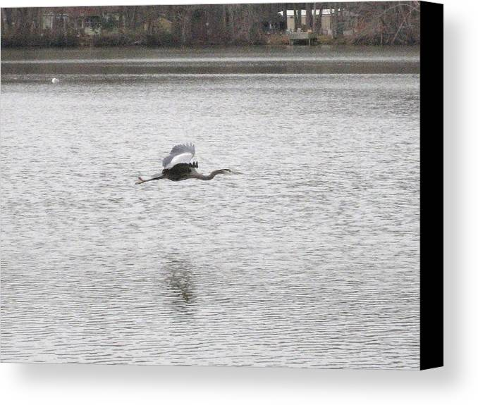 Birds Canvas Print featuring the photograph Blue Heron In Flight by Jennifer Sweet