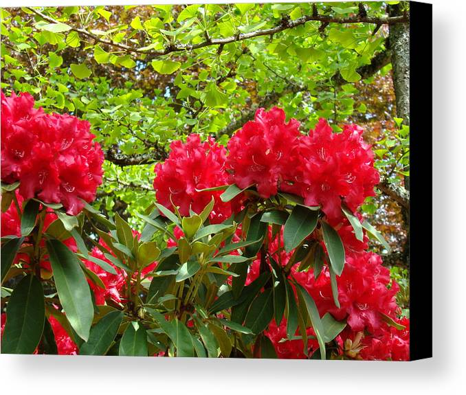 Rhodies Canvas Print featuring the photograph Botanical Garden Art Prints Red Rhodies Trees Baslee Troutman by Baslee Troutman