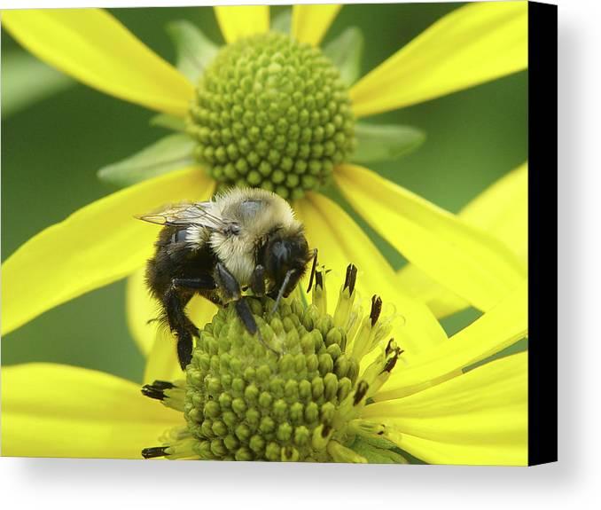 Bumblebee Canvas Print featuring the photograph Bumblebee by Tina B Hamilton