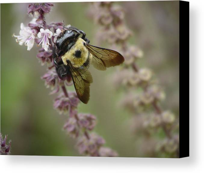 Bumblebee Canvas Print featuring the photograph Bumblebee Wings by Tina B Hamilton