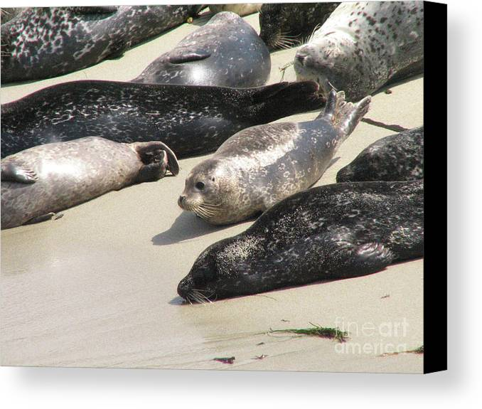 Seal Canvas Print featuring the photograph Bunch Of Harbor Seals Resting On A Beach by DejaVu Designs