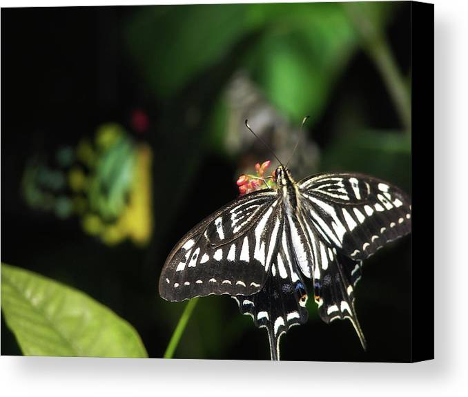 Butterfly Canvas Print featuring the photograph Butterfly Perfect by JAMART Photography