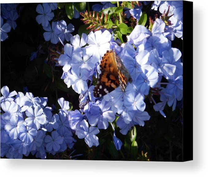 Butterfly Canvas Print featuring the photograph Butterfly Vi by Edward Wolverton