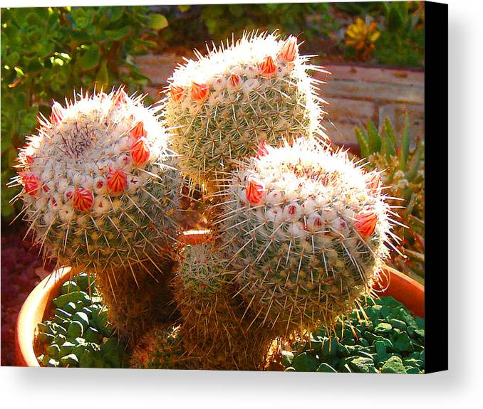 Landscape Canvas Print featuring the photograph Cactus Buds by Amy Vangsgard