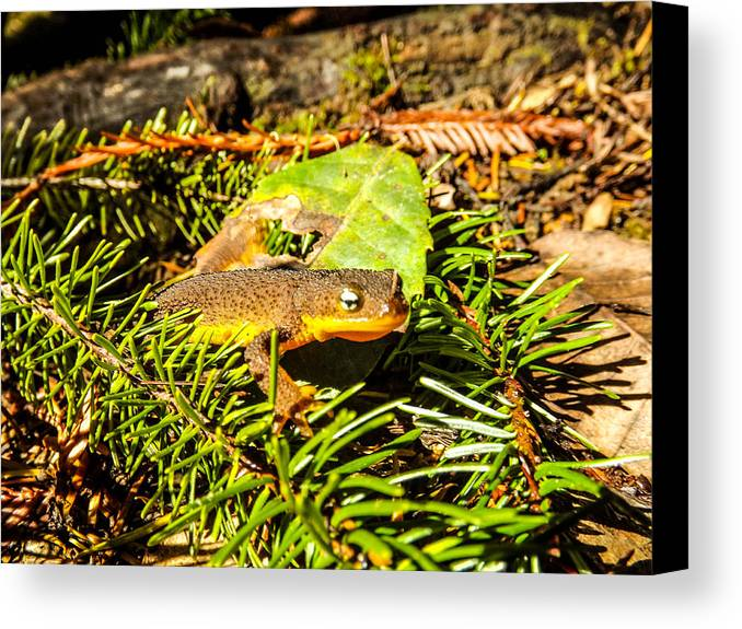 Canvas Print featuring the photograph California Newt 4 by Reed Tim