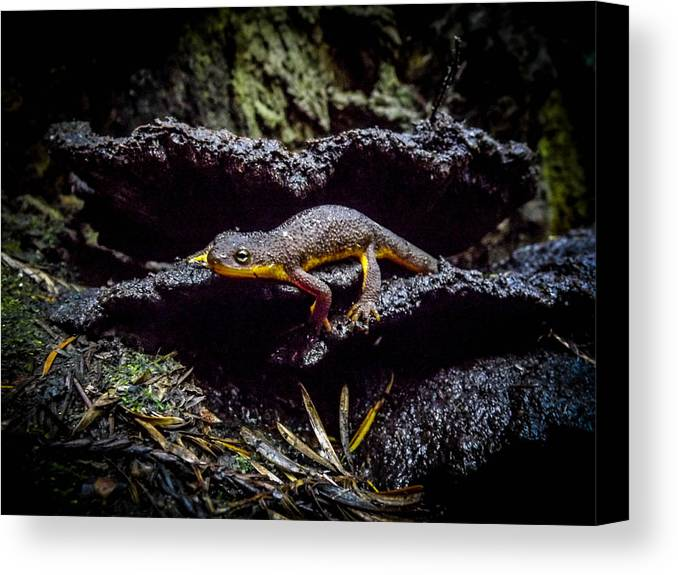 Canvas Print featuring the photograph California Newt by Reed Tim