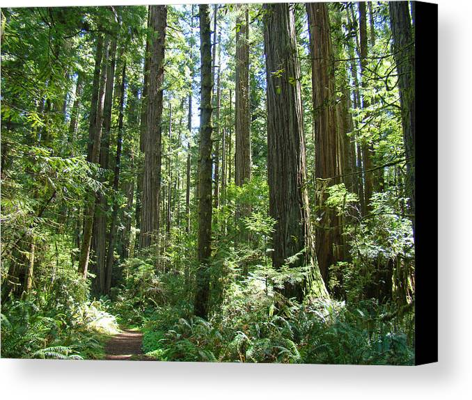 Redwood Canvas Print featuring the photograph California Redwood Trees Forest Art Prints by Baslee Troutman